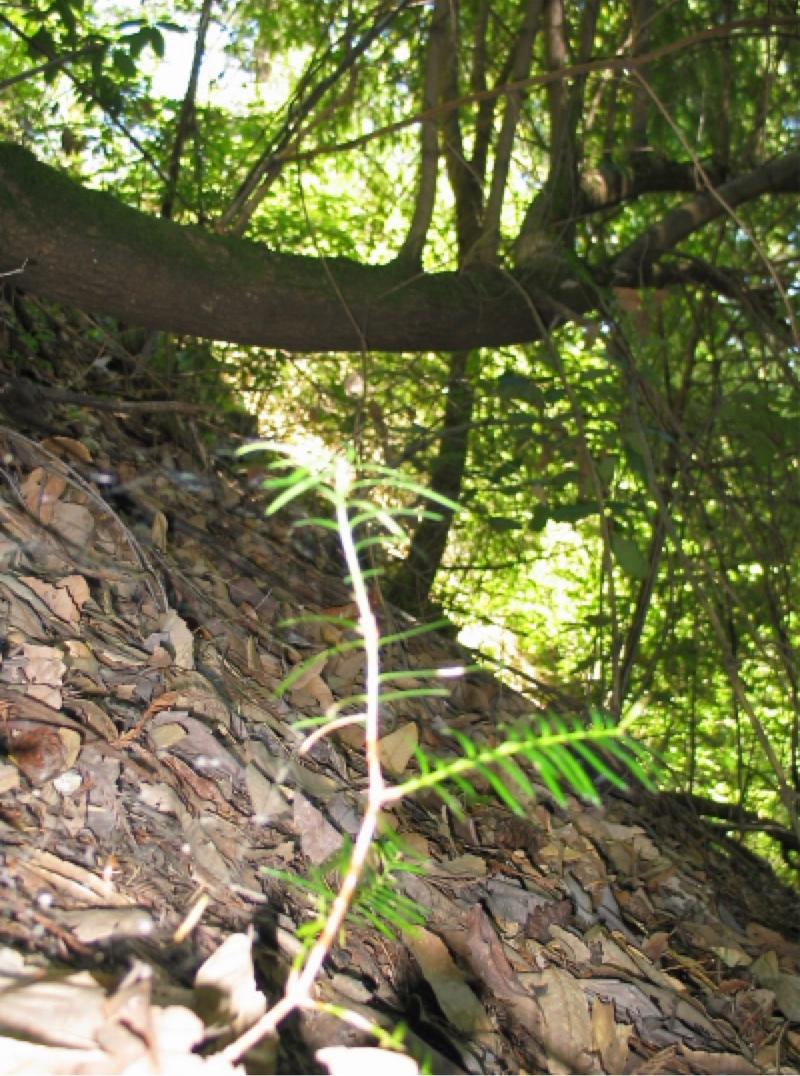 Extinction causes - Torreya taxifolia