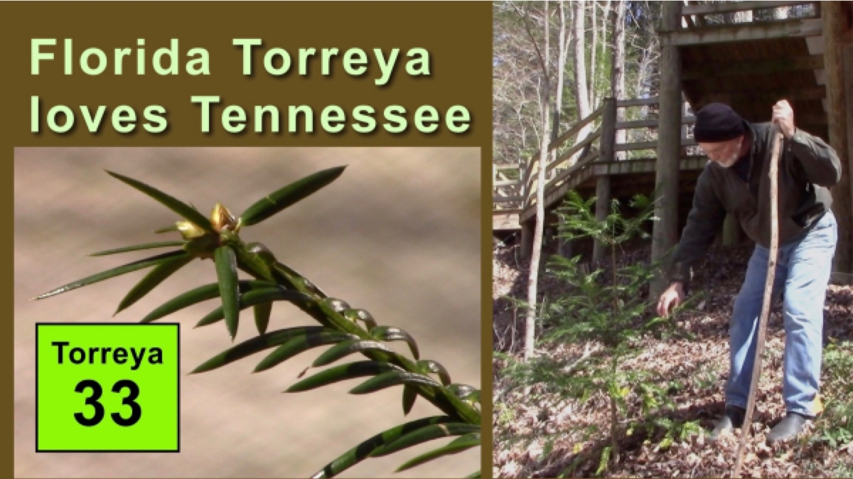 Reports Torreya Rewilding and Assisted Migration