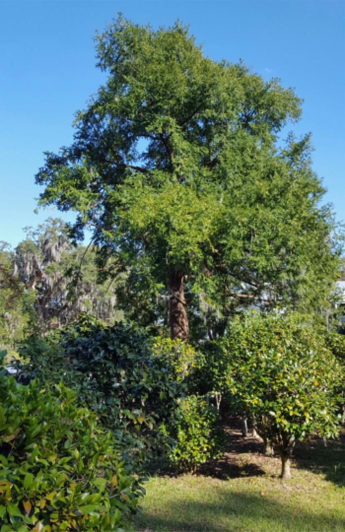 Torreya Taxifolia In Madison Florida
