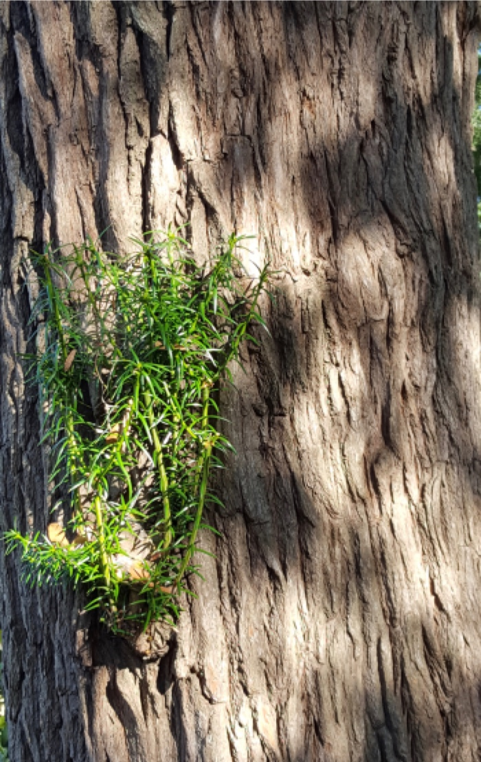 Torreya Taxifolia In Florida
