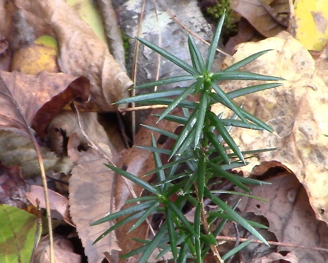 Freeplanting seeds of Torreya taxifolia